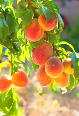 Konfitüre Pfirsich 85%